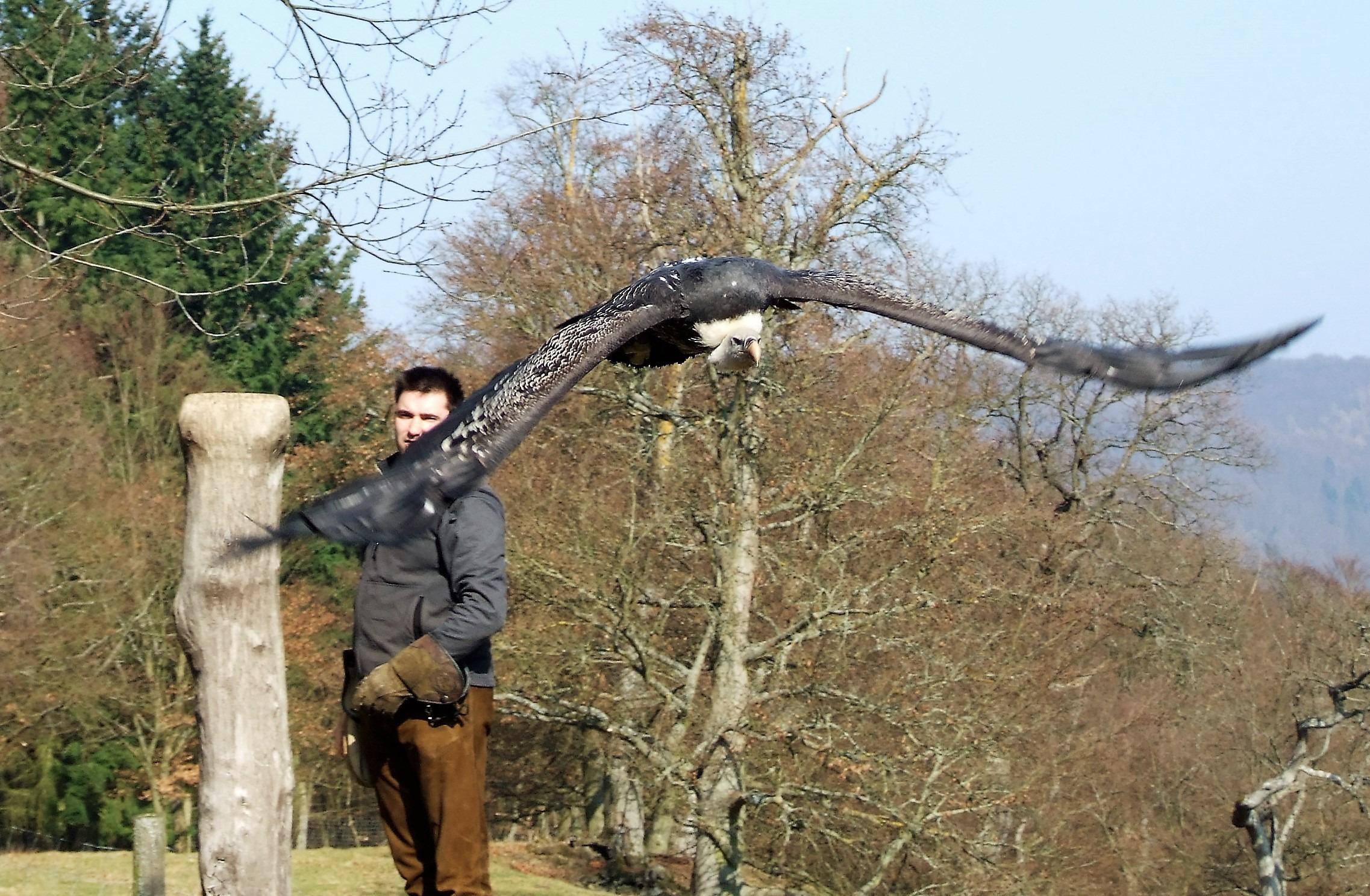 Flugschau im Wildtierpark Edersee. Auf dem Foto ein Sperbergeier und Falkner Daniel Stöcklein. (Foto: Uli Klein)