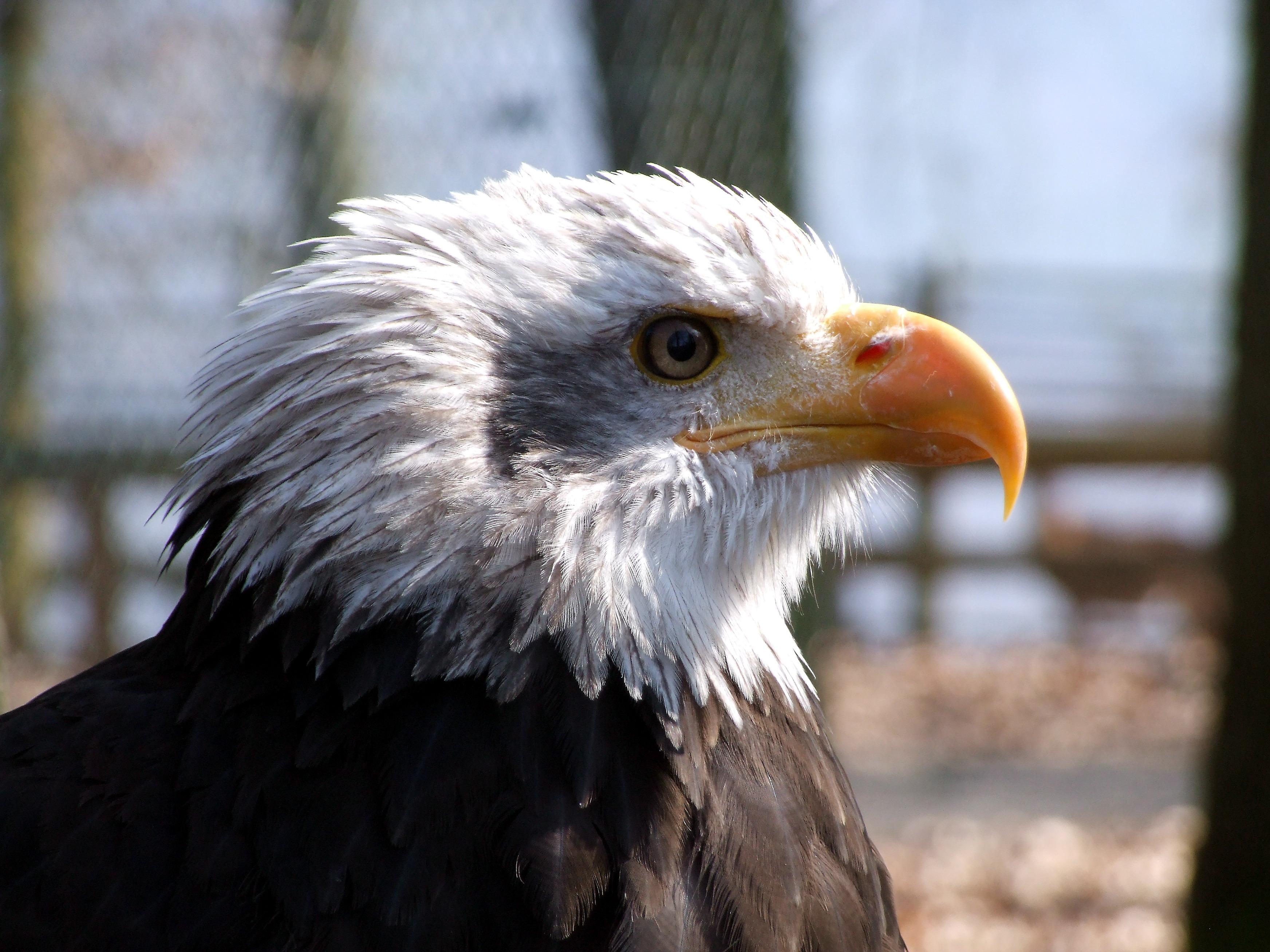 Die Greifenwarte im Wildtierpark Edersee. Auf dem Foto ein Weißkopfseeadler. (Foto: Uli Klein)