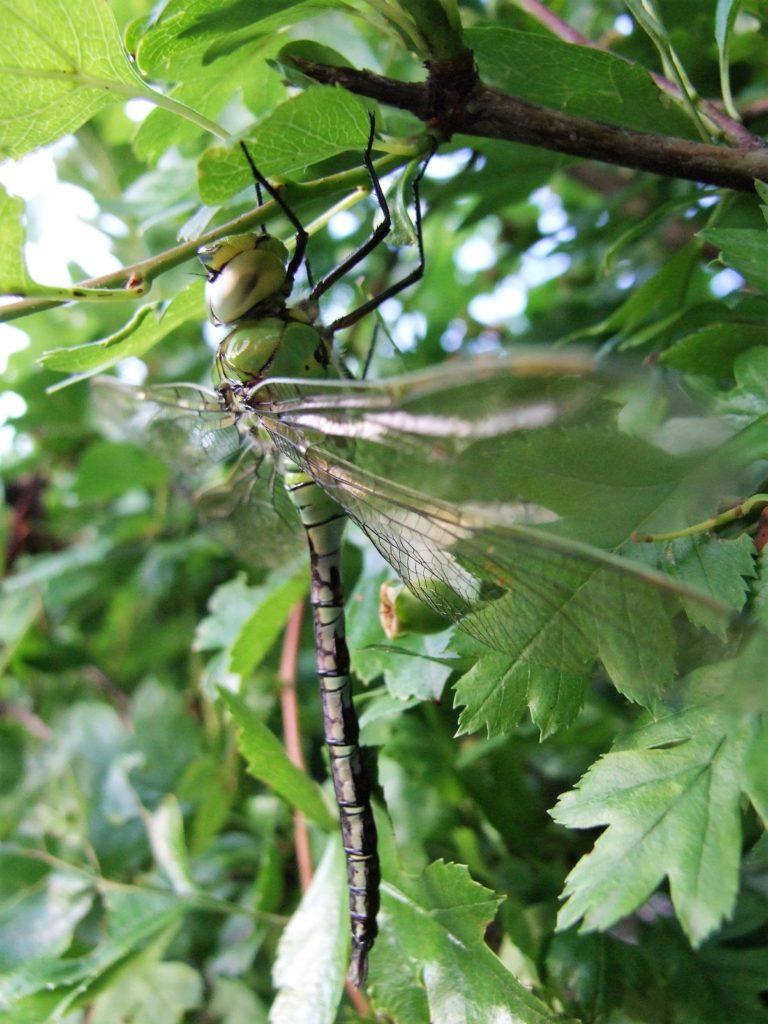 Eine gut getarnte Edel-Libelle: Das Weibchen der blaugrünen Mosaikjungfer. (Foto: Uli Klein)