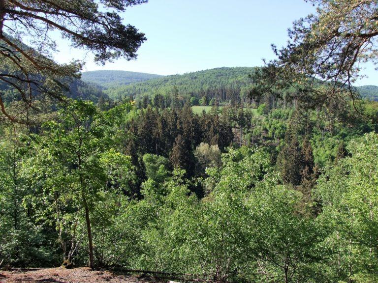 Ein Buchenmeeer im Nationalpark, durchsetzt von einzelnen Nadelbäumen. (Foto: Uli Klein)