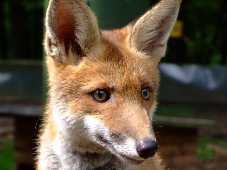 Ein junger Fuchs im Nationalpark. (Foto: Uli Klein)